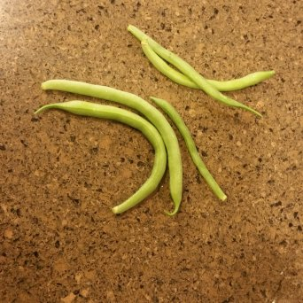The first and last of our green bean harvest
