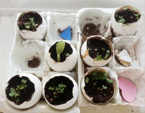 Egg shell seed starters...I think they are basil and green beans