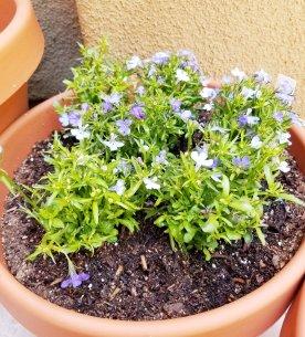 Elliot's plant